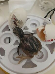 7 Chicken Hatching Eggs Incubator Guaranted Hatch Barnyard Mix