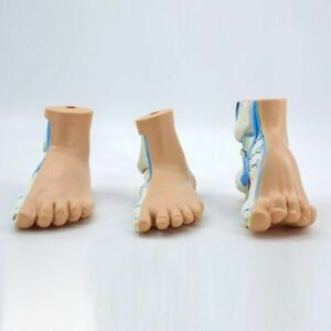 Human Feet Anatomy Skeleton Model Normal Flat Arched Foots