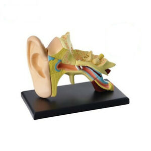 3d Human Ear Anatolly Model 14 Pcs Assembled Human Anatomy Model Gift For Child