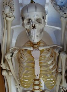 Model Anatomy Professional Medical Skeleton 67 170cm Life Size It 001 Artmed