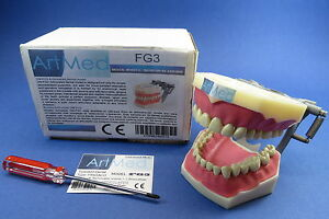 Model Anatomy Typodont Dental Ag3 Removable Teeth Model Fg3 Artmed