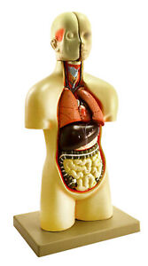Model Human Sexless Torso 12 Parts College Level Detail 19 Height