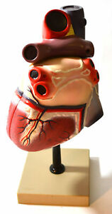 Eisco Labs Human Heart Model Larger Than Life Size 8 2 Parts On Base