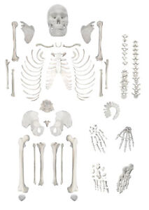 Eisco Labs Full Disarticulated Human Skeleton Life Size