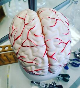 Human Brain Model With Arteries Anatomical Anatomy Model 8 parts With Stand