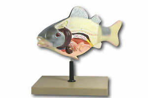 3d Fish Dissection Model 14 Length
