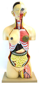 35 Dual Sex Life Size Human Torso 24 Parts With Open Back