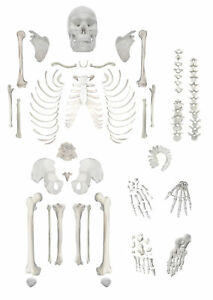 Disarticulated Human Skeleton Full Life Sized 62 Model Height