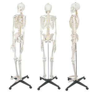 New 5 9 Life Size Human Skeleton Anatomical Medical Recreational Model