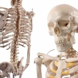 Human Skeleton Model 1 2 Life Size 85cm 33 5 Inches