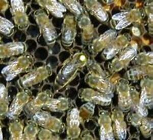 Live Marked Mated Caucasian Honeybee Package May 28th Delivery