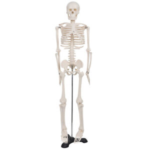 85cm Life Size Human Anatomical Anatomy Skeleton Medical Model School Teaching