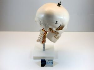 Educational Anatomy Life Size Skull Cervical Spine Practice Study Model Artmed