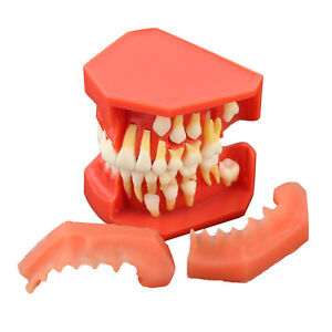 Dental Teeth Model Permanent Tooth Alternate Demonstration Study Teach 4006