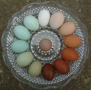 Rainbow Hatching Eggs Fun Rare Breeds From Greenfire Farms