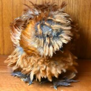 high Quality Sizzle satin frizzle silkie 6 Hatching Eggs Bbs Mottled micro