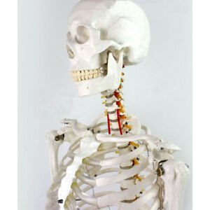 Medical Full Body Anatomical Human Skeleton Model On Stand