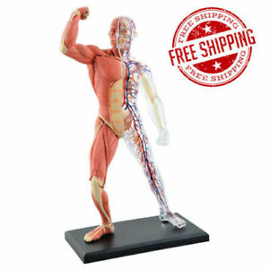4d Master Anatomy Human Muscles Tissue Model Medical Science Teaching Equipment