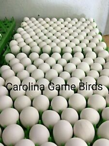 50 Northern Bobwhite Hatching Quail Eggs npip Certified