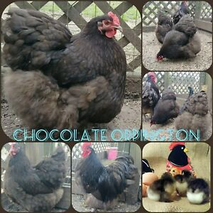 Quality Stock 12 English Orpington Hatching Eggs All Pure Breeds Bundle
