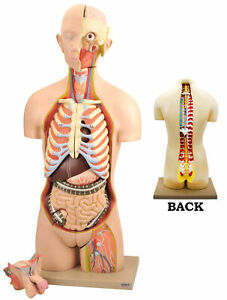 Life Size Human Torso Model With Open Front And Back Sections Eisco Labs