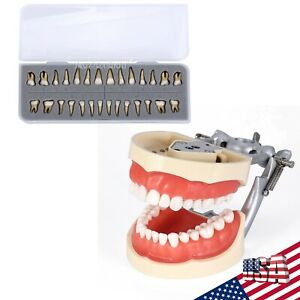 Usps Kilgore Nissin 200 Type Dental Typodont Model With Removable Teeth