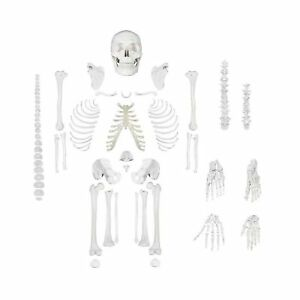 Disarticulated Human Skeleton Model For Anatomy Life Sized Anatomical Model 2