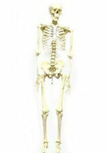 Eisco Labs Articulated Life Size 62 Human Skeleton Model For Anatomy Teachers