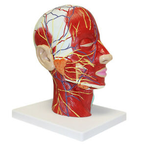 Section Of Human Head Neck Anatomical Model Medical Skeleton Anatomy