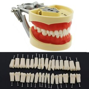 Dental Typodont Model Nissin Kilgore 200 Replacement Teeth Simulation Practice
