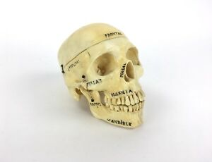 Vintage Composite Human Skull Teaching Anatomy Model W Spine Stand