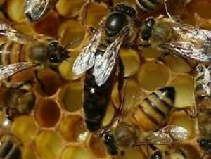 2019 Live Mated Carni Honeybee Queen shipping July 29th