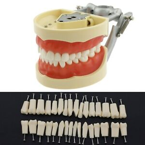Dental Kilgore Nissin 200 Style Typodont Model 32 Pcs Removable Practice Teeth
