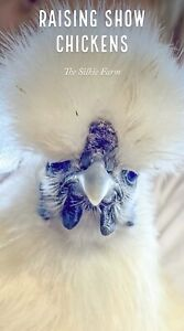 Live Baby Silkie Show Chickens Npip Certified From The Silkie Farm