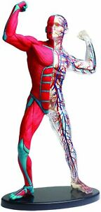 Human Anatomy Model Human Body In Pose muscles And Blood Vessels 19cm Japan