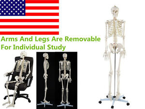 Hot Life Size Human Anatomical Anatomy Skeleton Medical Model Stand Us Stock