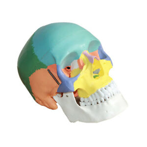 3 Parts Human Anatomical Anatomy Head Skeleton Skull Teaching Model Precise
