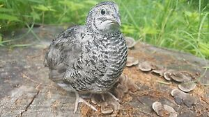 26 organic Select Rare Dark Silver Gene Coturnix Quail Fertile Hatching Eggs