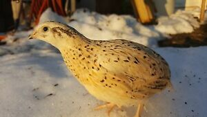 27 Organic Premium Golden Layer Bloodline Coturnix Quail Fertile Hatching Eggs