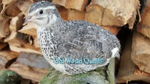 50 Select Starter Pack Research Colors Fertile Coturnix Quail Hatching Eggs
