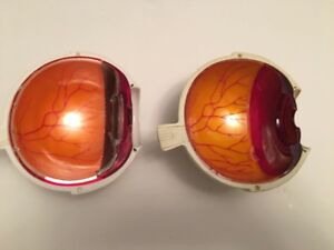 Two Vintage Timoptic Half Eyeball Anatomical Model Eye Anatomy