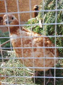 26 Rare Color Mutation Bobwhite Quail Hatching Eggs