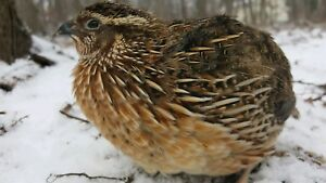 25 organic Jumbo Wild Type Meat Makers Coturnix Quail Fertile Hatching Eggs