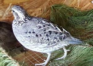 10 Rare Color Mutation Bobwhite Quail Hatching Eggs