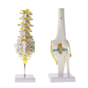 Educative Human Spine Model Lumbar Knee Joint Skeleton Model Science Toy