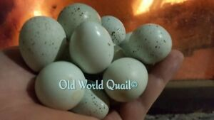 24 Very Very Rare Gene blue celedon Coturnix Quail Fertile Hatching Eggs