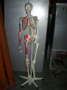 Life Size Human Skeleton W Muscle Ligaments Bones Medical Doctor Teaching