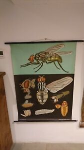 Vintage Linen Educational Chart Of House Fly By Jung Koch Quentell 1967