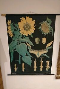 Vintage Linen Educational Chart Of Sunflowers By Jung Koch Quentell