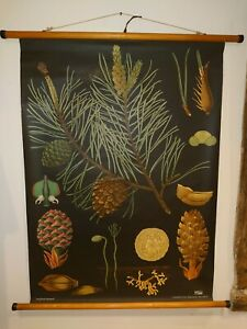Vintage Linen Educational Chart Of Scots Pine By Jung Koch Quentell